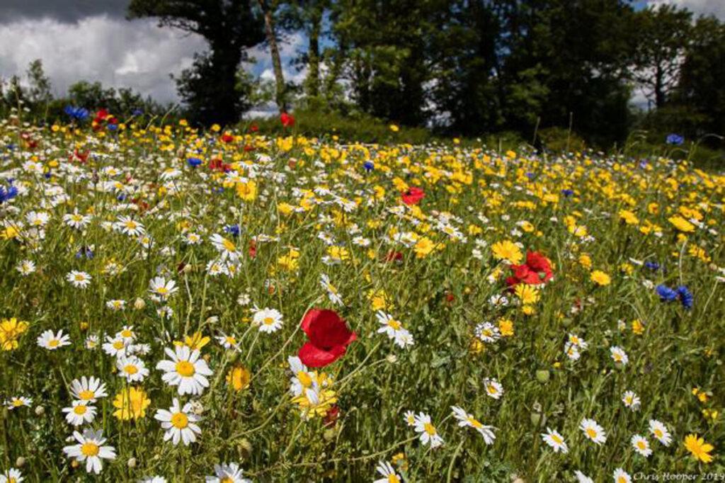 Wild flower meadow for harvesting oils