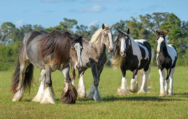 Heel mites in horses or itchy heels