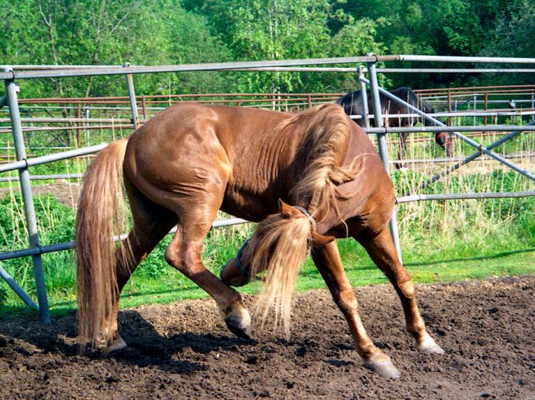 Heel mites horse biting heels