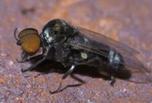 Simulium black fly