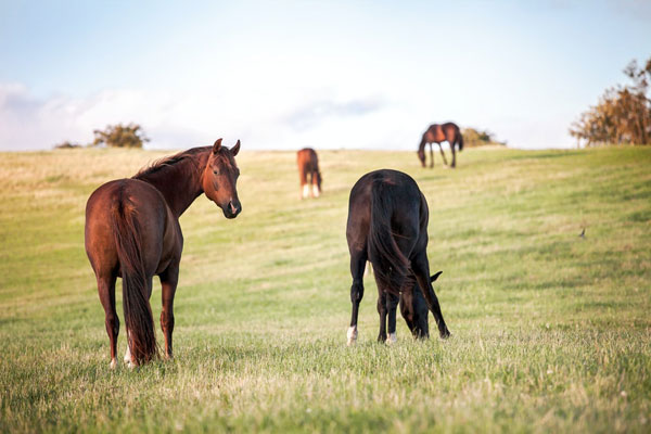 Sweet itch horses in a field