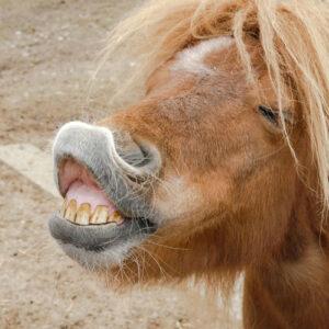 Flehmen response in a horse